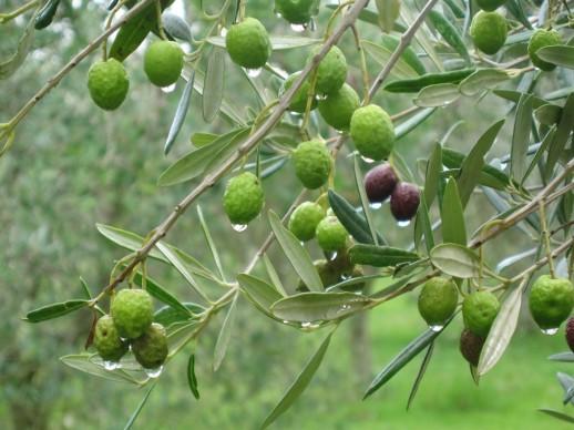 OliveTreesRain